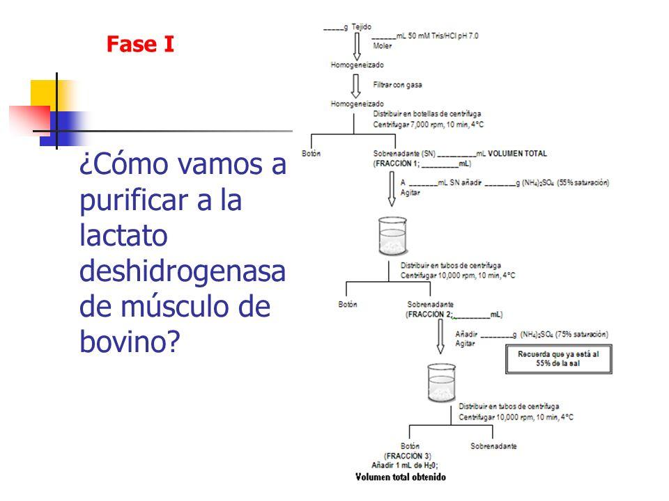 Fase I ¿Cómo vamos a purificar a la lactato deshidrogenasa de músculo de bovino