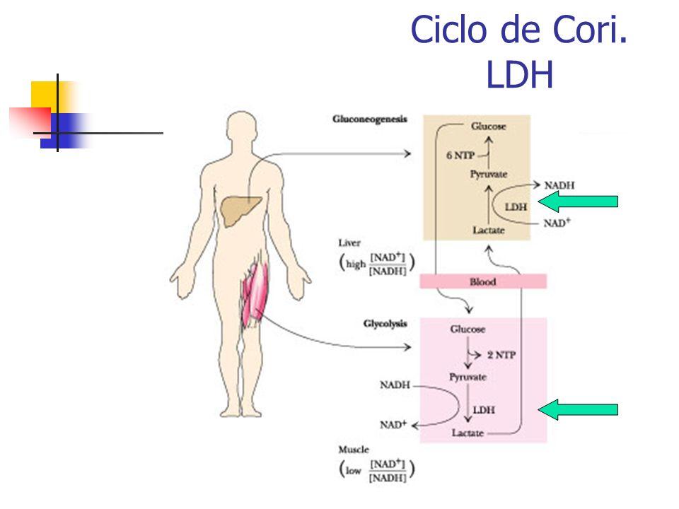 Ciclo de Cori. LDH