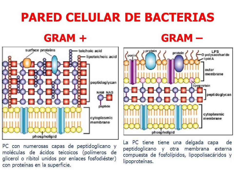 Membrana celular ppt descargar for Pared y membrana celular