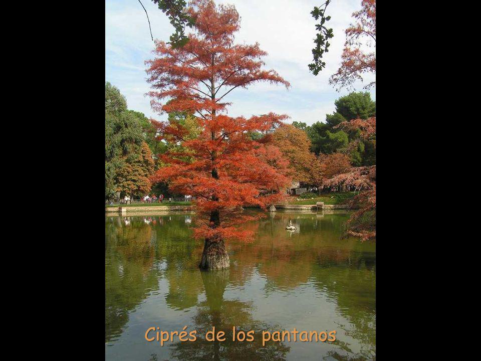 Ciprés de los pantanos