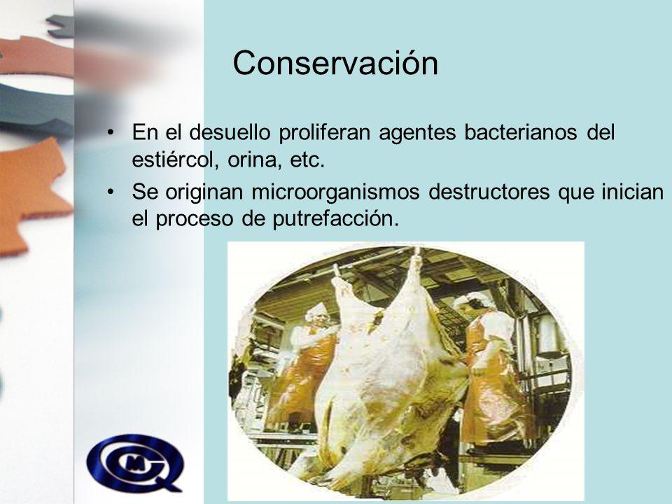Conservación En el desuello proliferan agentes bacterianos del estiércol, orina, etc.