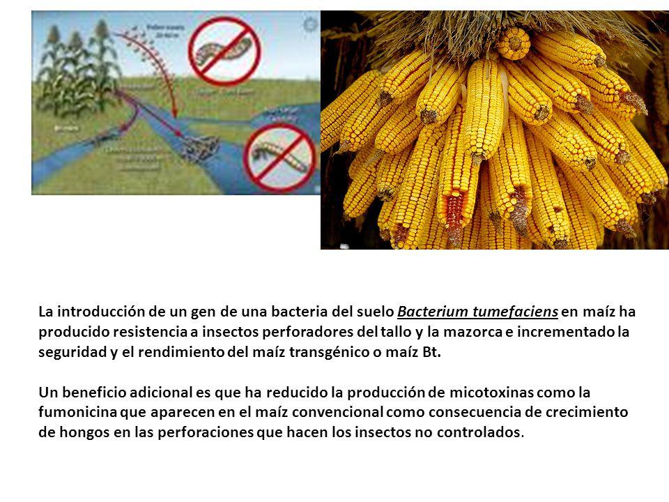 La introducción de un gen de una bacteria del suelo Bacterium tumefaciens en maíz ha producido resistencia a insectos perforadores del tallo y la mazorca e incrementado la seguridad y el rendimiento del maíz transgénico o maíz Bt.