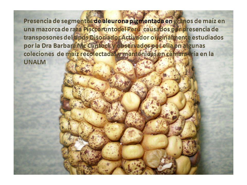 Presencia de segmentos de aleurona pigmentada en granos de maíz en una mazorca de raza Pisccoruntodel Perú causados por presencia de transposones del tipos Disociador Activador originalmente estudiados por la Dra Barbara Mc Clintock y observados por ella en algunas coleciones de maíz recolectadas y mantenidas en cámara fría en la UNALM