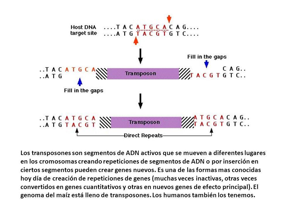 Los transposones son segmentos de ADN activos que se mueven a diferentes lugares en los cromosomas creando repeticiones de segmentos de ADN o por inserción en ciertos segmentos pueden crear genes nuevos.