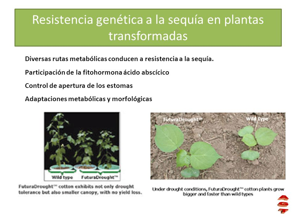 Resistencia genética a la sequía en plantas transformadas