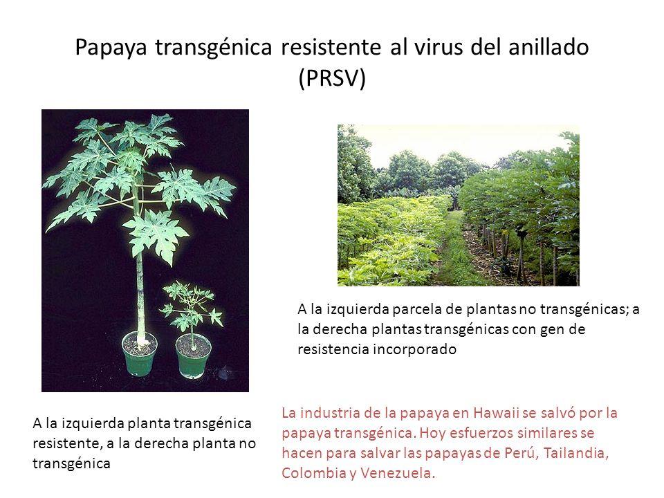 Papaya transgénica resistente al virus del anillado (PRSV)
