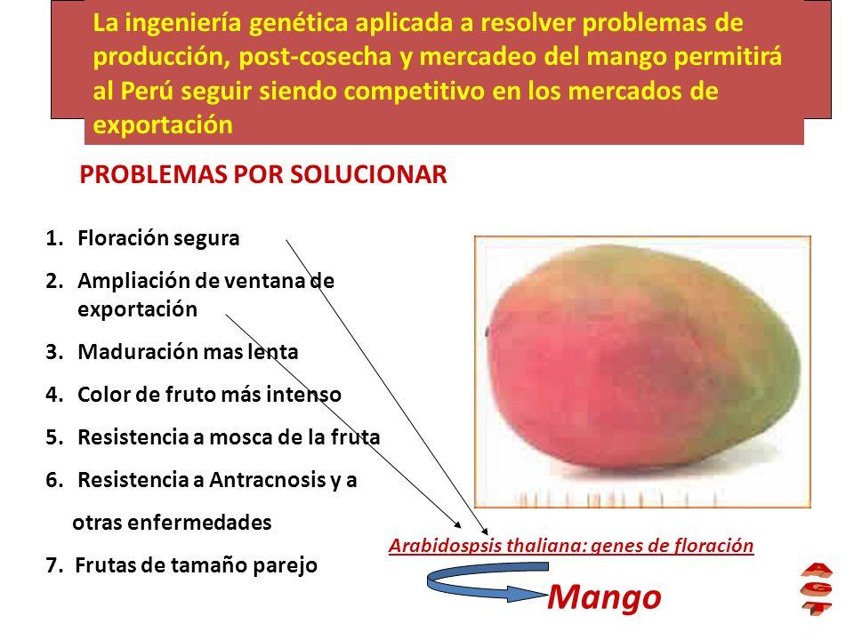 La ingeniería genética aplicada a resolver problemas de producción, post-cosecha y mercadeo del mango permitirá al Perú seguir siendo competitivo en los mercados de exportación