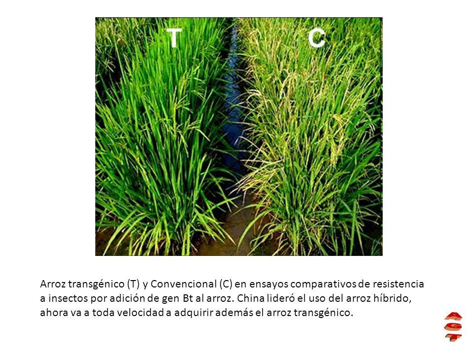 Arroz transgénico (T) y Convencional (C) en ensayos comparativos de resistencia a insectos por adición de gen Bt al arroz. China lideró el uso del arroz híbrido, ahora va a toda velocidad a adquirir además el arroz transgénico.