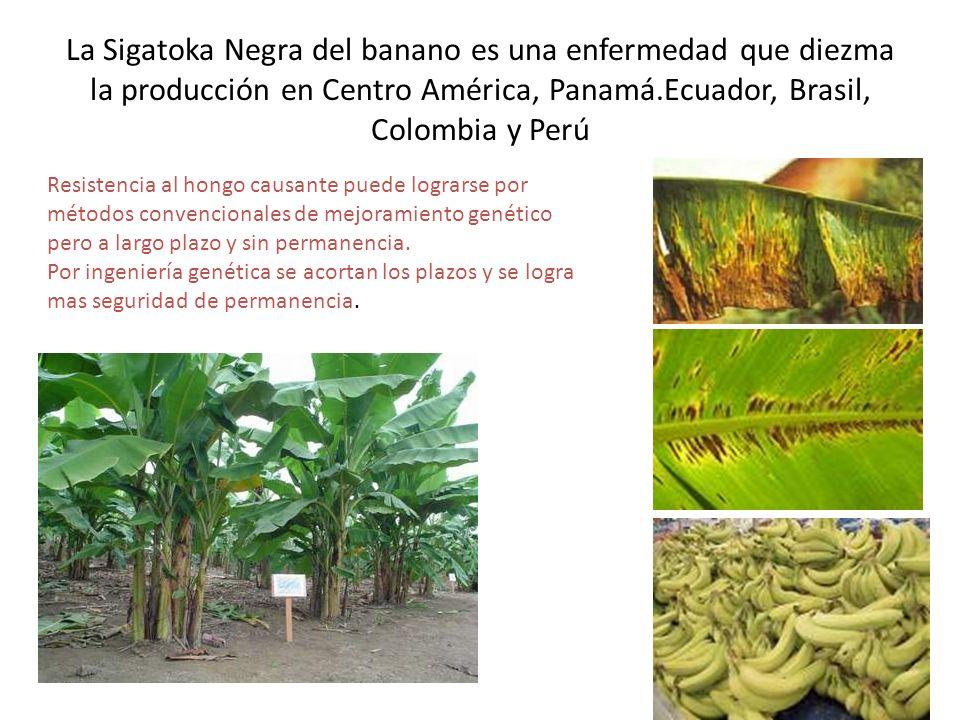 La Sigatoka Negra del banano es una enfermedad que diezma la producción en Centro América, Panamá.Ecuador, Brasil, Colombia y Perú