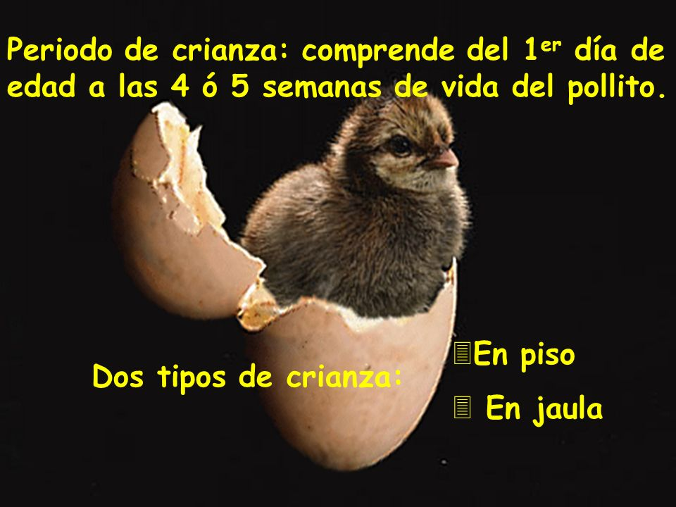 Periodo de crianza: comprende del 1er día de edad a las 4 ó 5 semanas de vida del pollito.