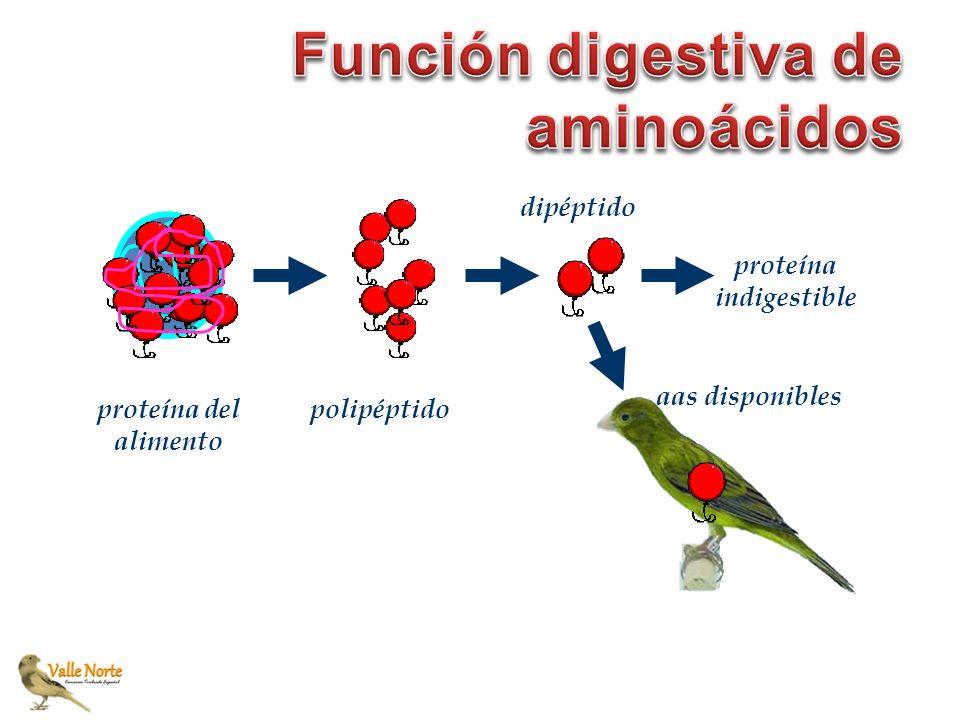 Función digestiva de aminoácidos