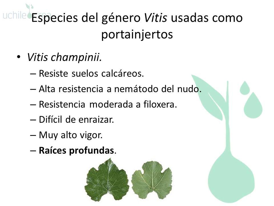 Especies del género Vitis usadas como portainjertos