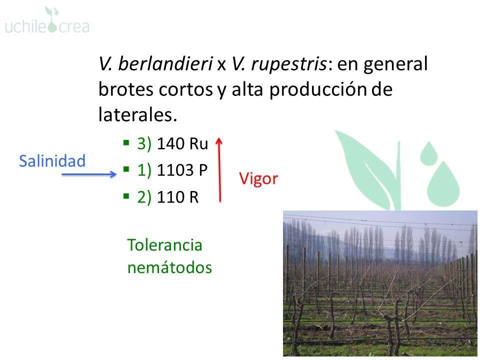 V. berlandieri x V. rupestris: en general brotes cortos y alta producción de laterales.
