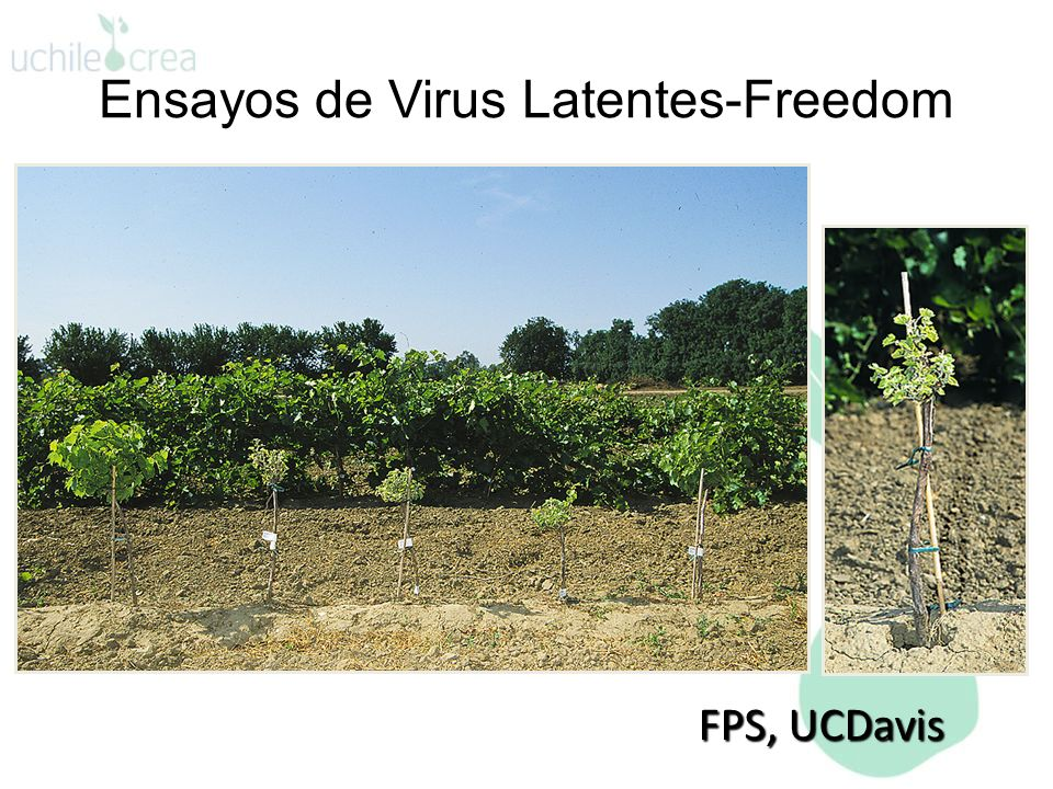 Ensayos de Virus Latentes-Freedom