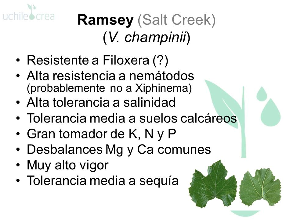 Ramsey (Salt Creek) (V. champinii)
