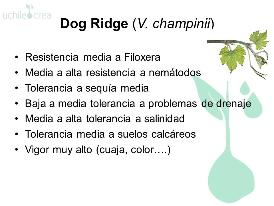 Dog Ridge (V. champinii)