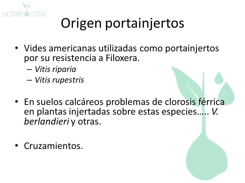 Origen portainjertos Vides americanas utilizadas como portainjertos por su resistencia a Filoxera. Vitis riparia.