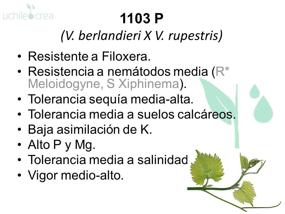 1103 P (V. berlandieri X V. rupestris)