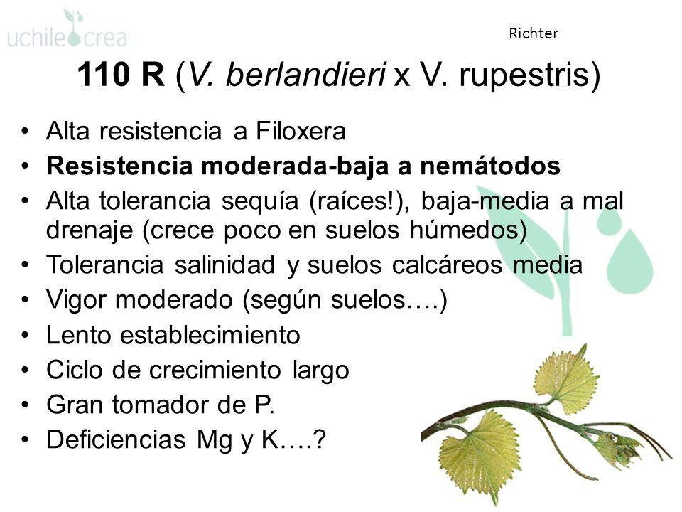 110 R (V. berlandieri x V. rupestris)