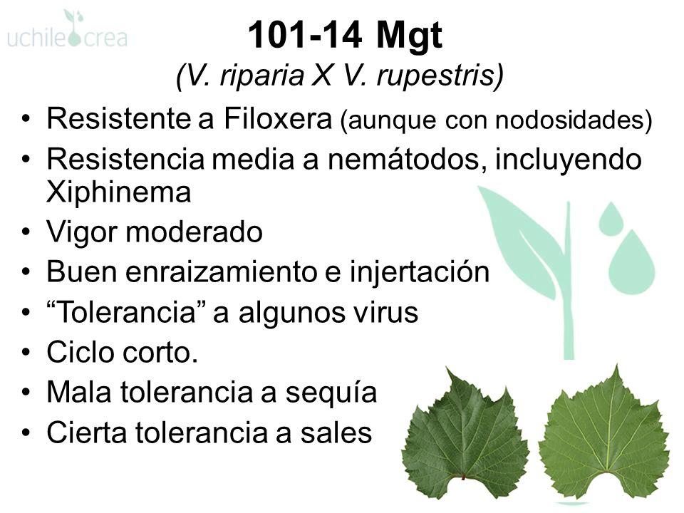 101-14 Mgt (V. riparia X V. rupestris)
