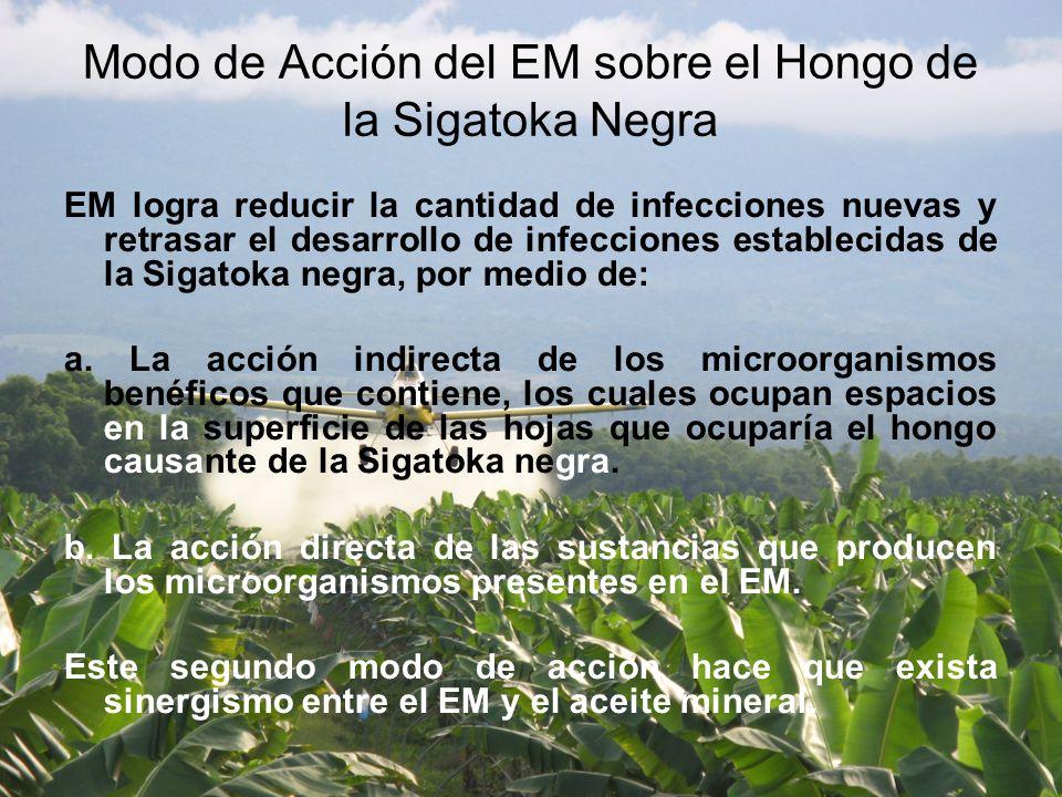 Modo de Acción del EM sobre el Hongo de la Sigatoka Negra
