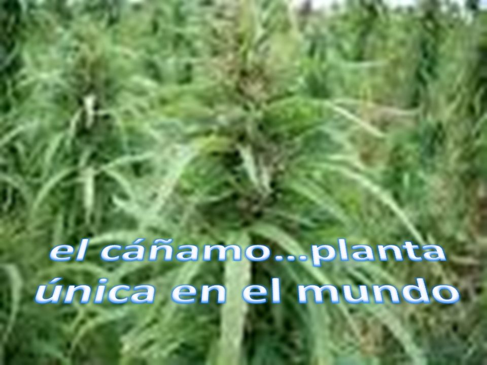 el cáñamo…planta única en el mundo