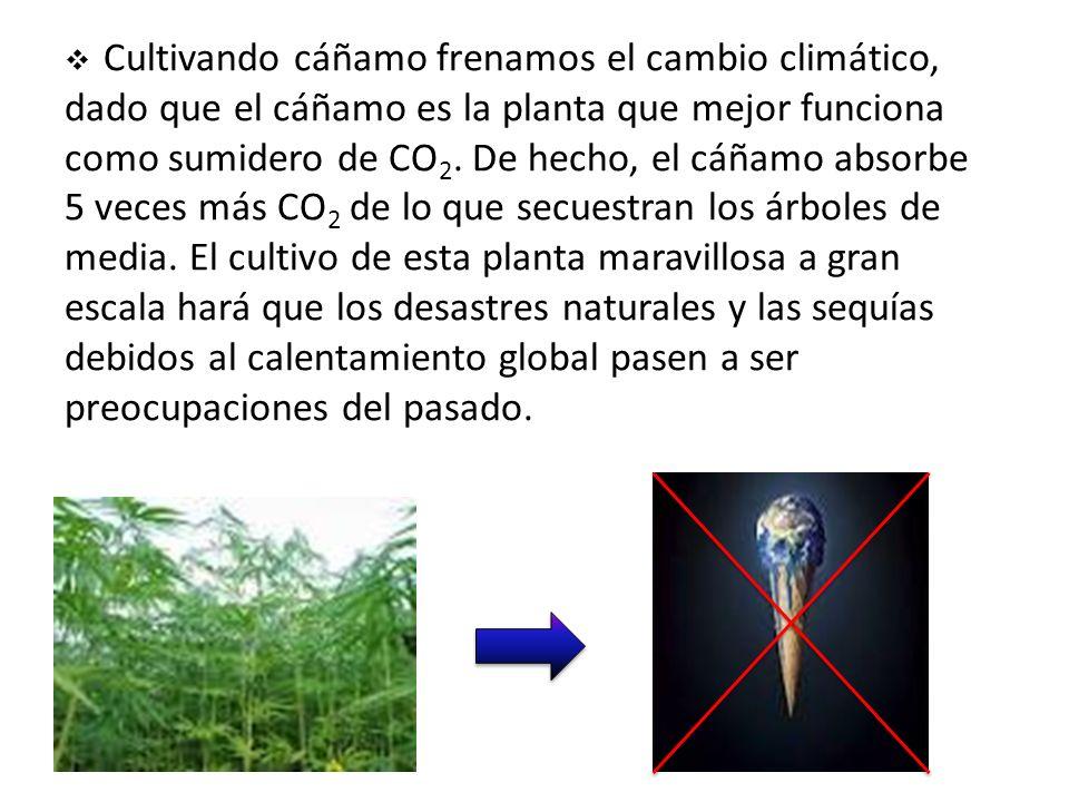 Cultivando cáñamo frenamos el cambio climático, dado que el cáñamo es la planta que mejor funciona como sumidero de CO2.
