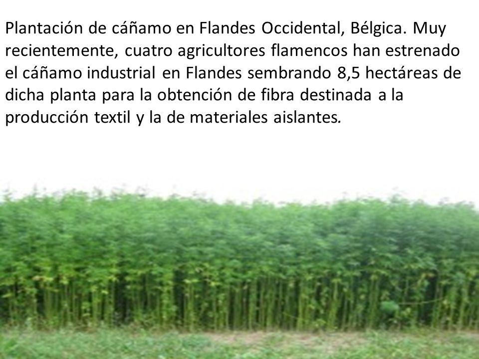 Plantación de cáñamo en Flandes Occidental, Bélgica