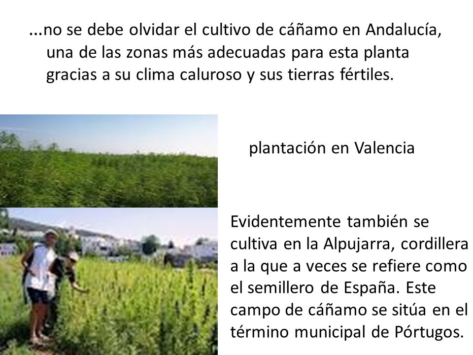 …no se debe olvidar el cultivo de cáñamo en Andalucía, una de las zonas más adecuadas para esta planta gracias a su clima caluroso y sus tierras fértiles.