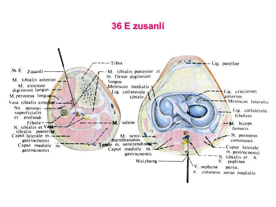 36 E zusanli