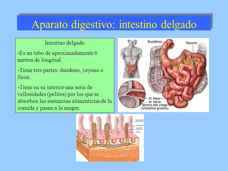 Aparato digestivo: intestino delgado