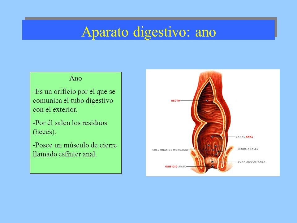 Aparato digestivo: ano