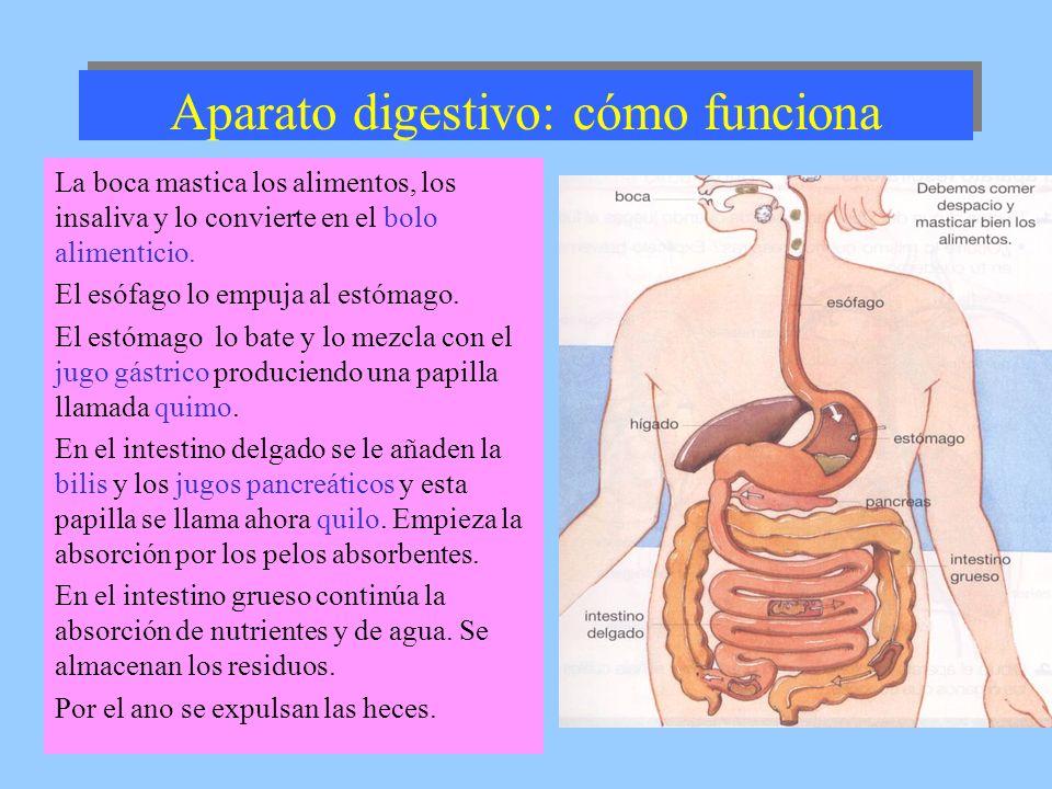 Aparato digestivo: cómo funciona