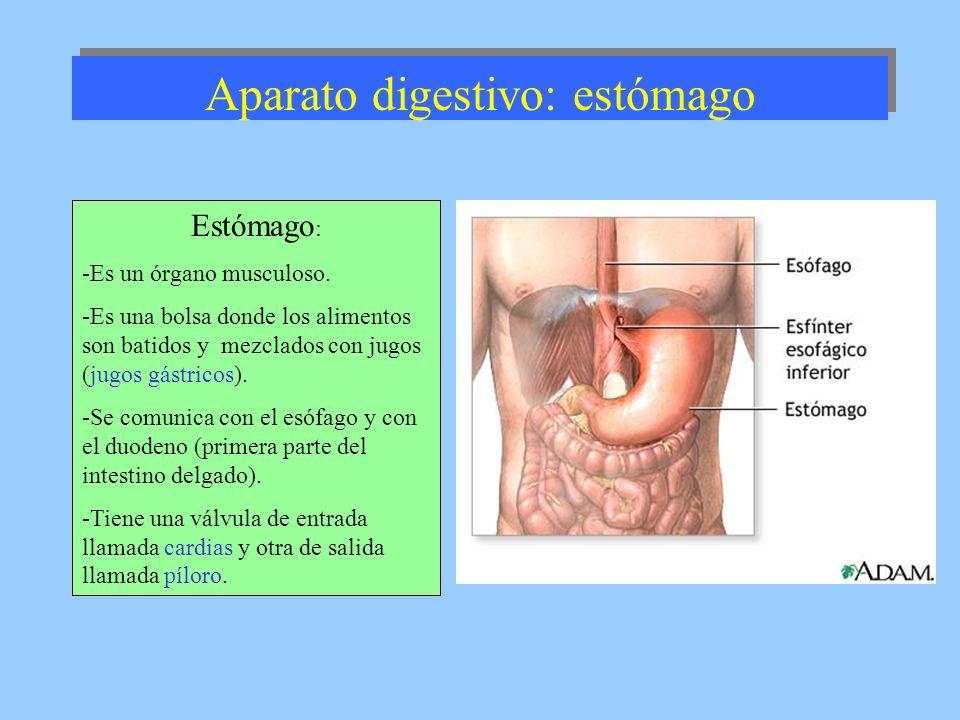 Aparato digestivo: estómago