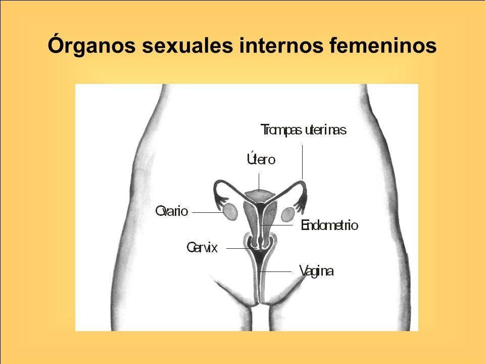 Órganos sexuales internos femeninos