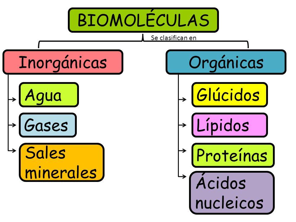 BIOMOLÉCULAS Inorgánicas Orgánicas Agua Glúcidos Gases Lípidos Sales