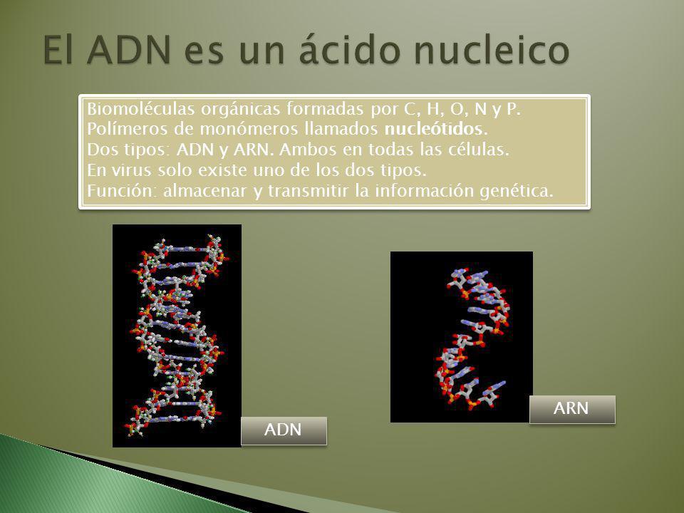 El ADN es un ácido nucleico