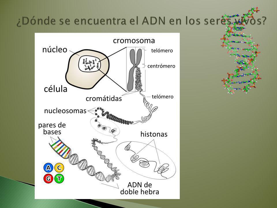 ¿Dónde se encuentra el ADN en los seres vivos