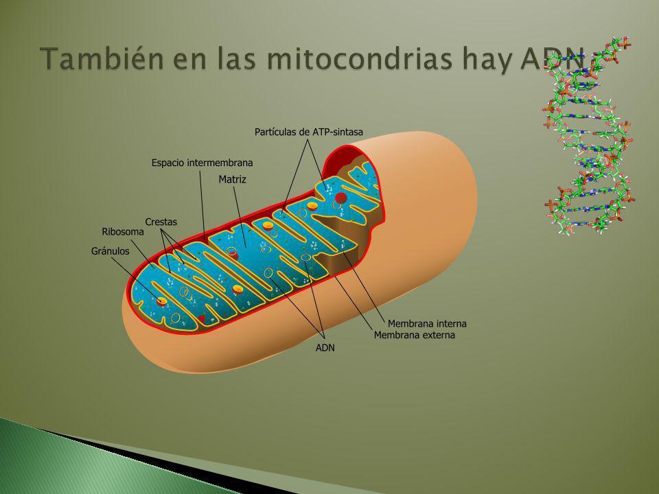 También en las mitocondrias hay ADN