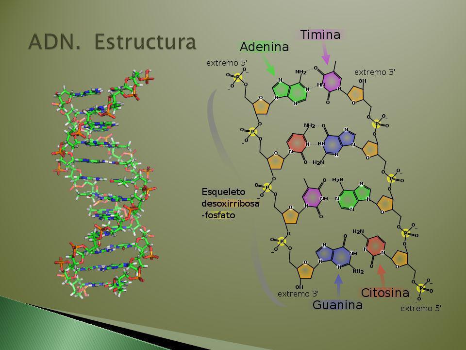 ADN. Estructura