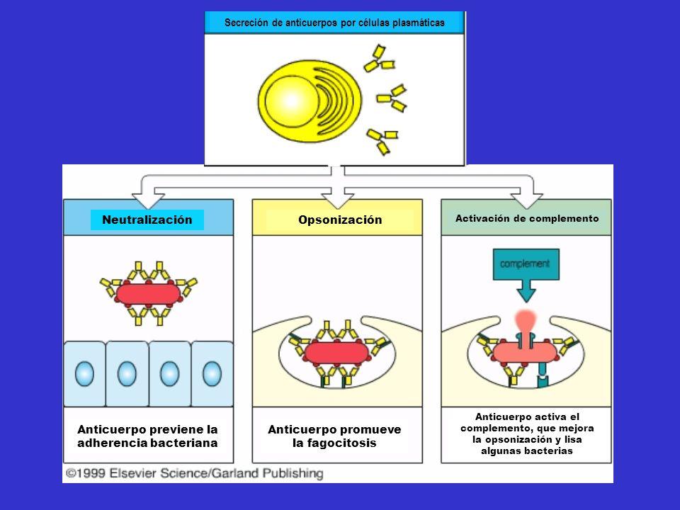 Secreción de anticuerpos por células plasmáticas