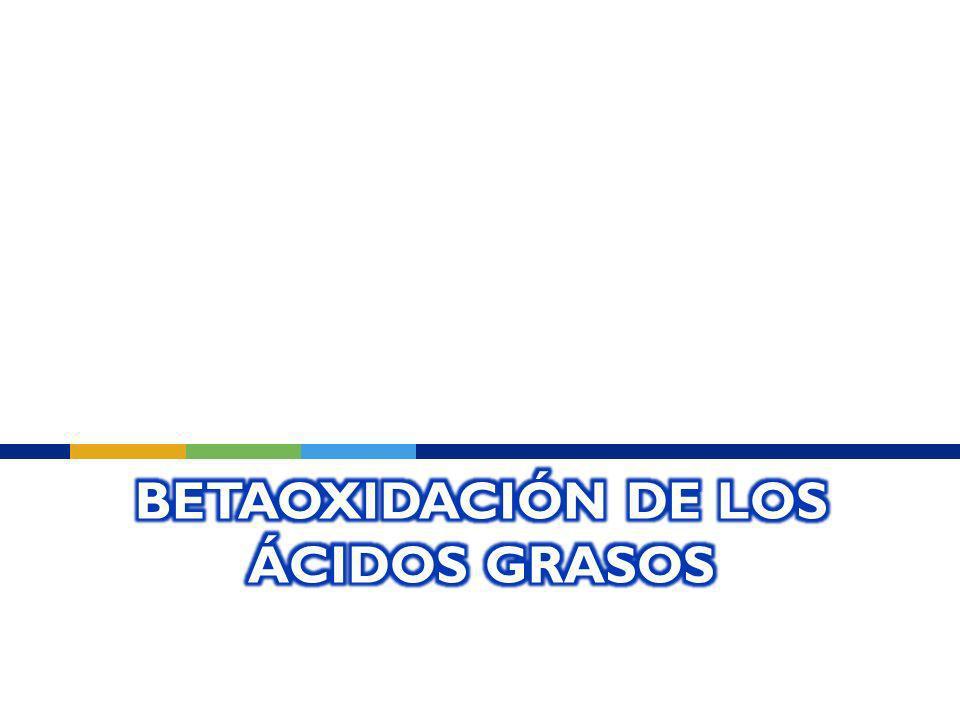 Betaoxidación de los ácidos grasos