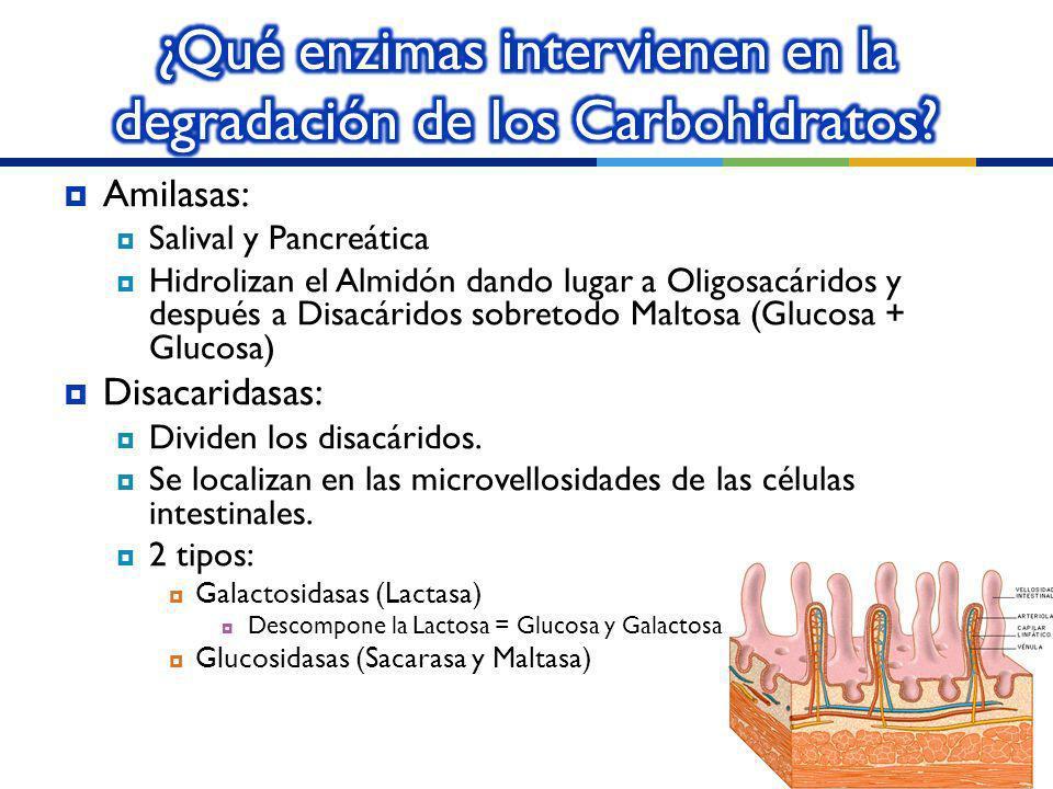 ¿Qué enzimas intervienen en la degradación de los Carbohidratos