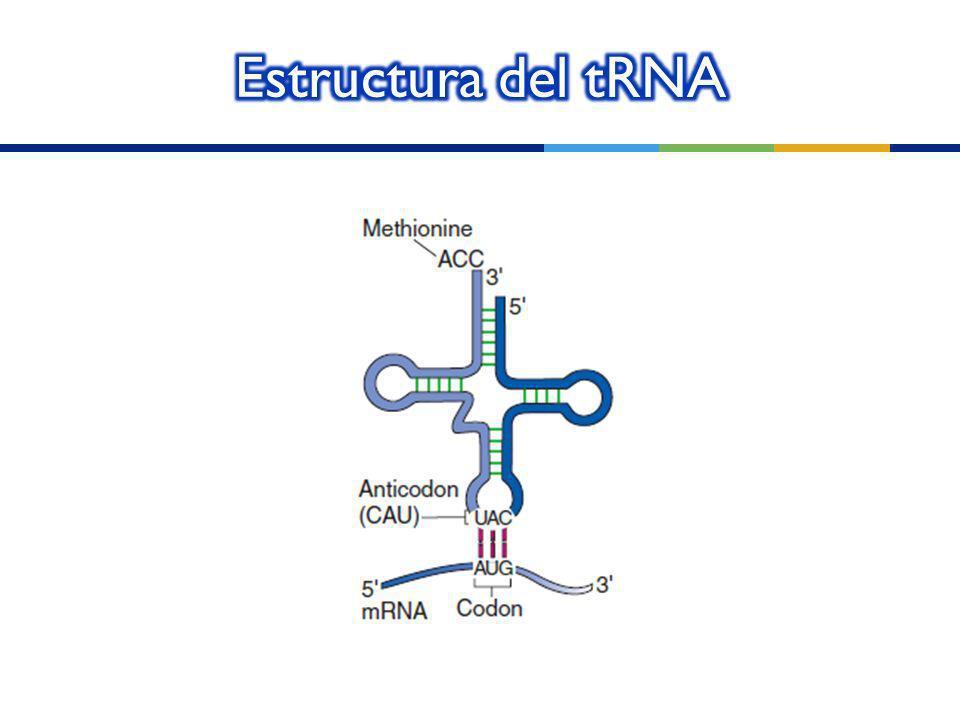 Estructura del tRNA