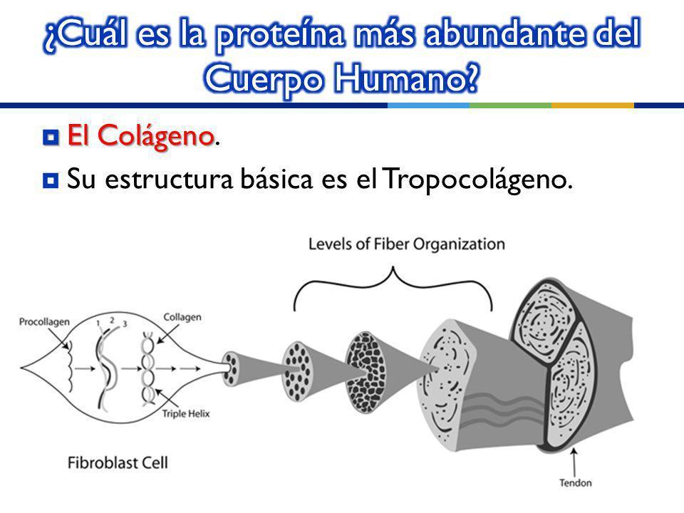¿Cuál es la proteína más abundante del Cuerpo Humano
