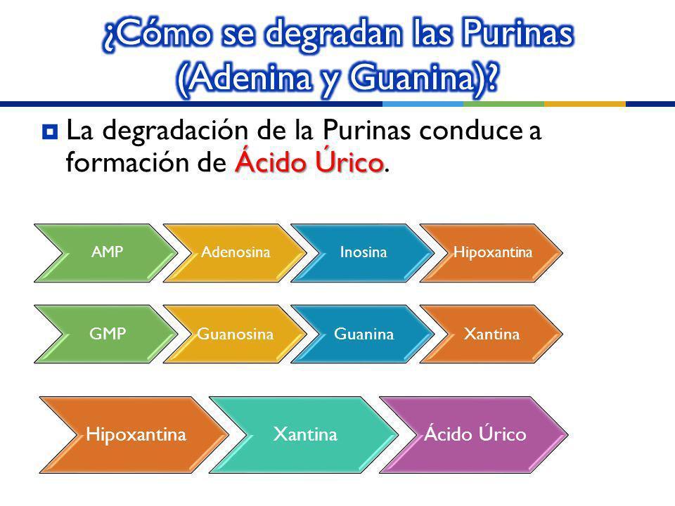 ¿Cómo se degradan las Purinas (Adenina y Guanina)
