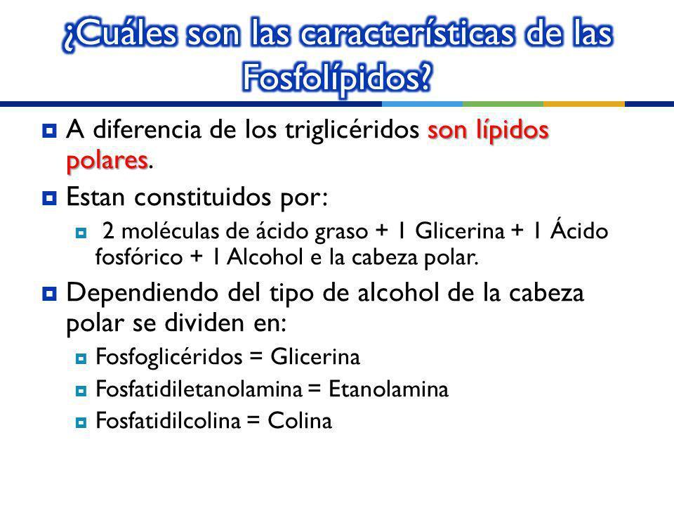 ¿Cuáles son las características de las Fosfolípidos