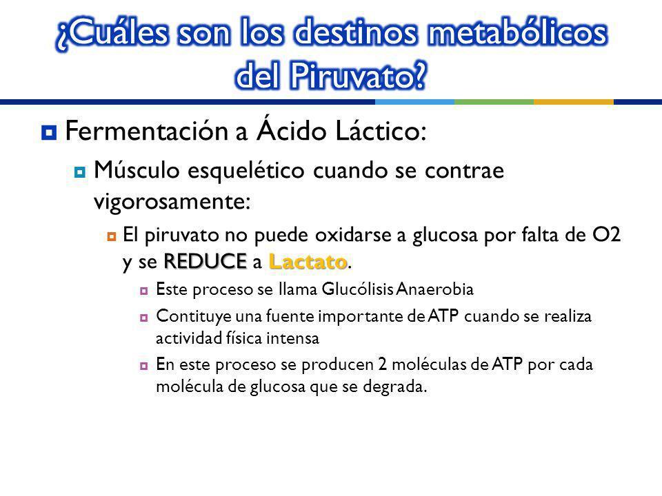 ¿Cuáles son los destinos metabólicos del Piruvato