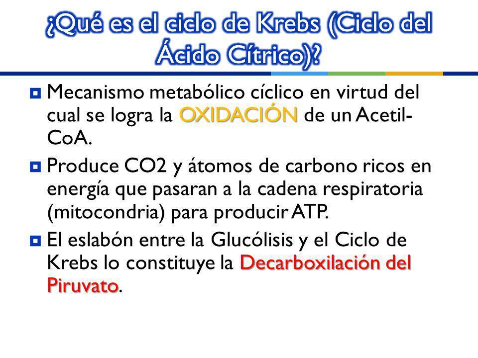 ¿Qué es el ciclo de Krebs (Ciclo del Ácido Cítrico)
