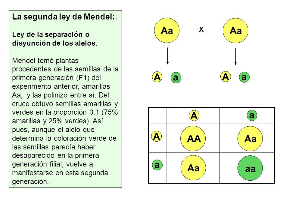 Aa Aa A a A a A AA Aa a Aa aa La segunda ley de Mendel:.